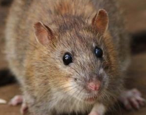 Rats are a pest that needs to be controlled to prevent property damage and the spread of disease