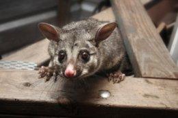 Possum removal services, Possum control services